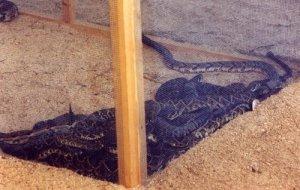 gmprintrattlesnakes09